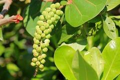 Healthy sea grape tree Royalty Free Stock Image