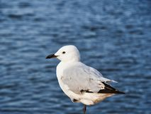 Free Healthy Seagull Perched On One Leg Beside Ocean Royalty Free Stock Images - 144812779