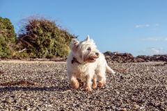 Healthy senior dog exploring beach - west highland white terrier. Healthy senior dog exploring shingle beach with shells and pebbles - west highland white royalty free stock photo