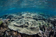 Healthy Shallow Coral Reef Stock Image