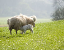 Healthy sheep and livestock, Idyllic Rural, UK Royalty Free Stock Images