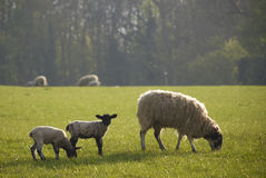 Healthy sheep and livestock, Idyllic Rural, UK Royalty Free Stock Photo