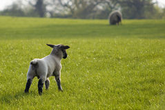 Healthy sheep and livestock, Idyllic Rural, UK Royalty Free Stock Image