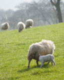 Healthy sheep and livestock, Idyllic Rural, UK Royalty Free Stock Photos