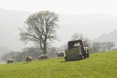 Healthy sheep and livestock, Idyllic Rural, UK Royalty Free Stock Photography