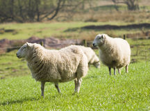 Healthy sheep and livestock, Idyllic Rural, UK Stock Photography