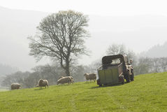 Healthy sheep and livestock, Idyllic Rural, UK Stock Photo
