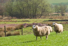Healthy sheep and livestock, Idyllic Rural, UK Stock Photos