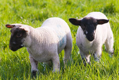 Healthy sheep and livestock, Idyllic Rural, UK Stock Images