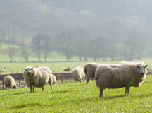 Healthy sheep and livestock, Idyllic Rural, UK. Healthy animal livestock feeding in a lush rural environment Stock Photos