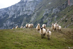 Healthy sheeps Stock Photography