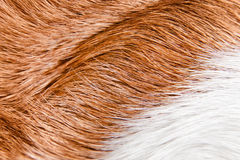 Healthy skin of a sleek-haired dog ( beagle ) Royalty Free Stock Photos