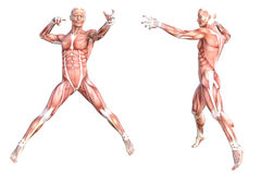 Healthy skinless human body muscle system set. Conceptual anatomy healthy skinless human body muscle system set. Athletic young adult man posing for education Royalty Free Stock Images