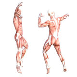 Healthy skinless human body muscle system set. Conceptual anatomy healthy skinless human body muscle system set. Athletic young adult man posing for education Stock Photos