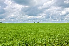 Healthy Soybean Field Stock Images