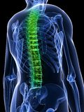 Healthy spine Stock Photos