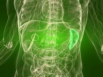 Healthy spleen Stock Photography