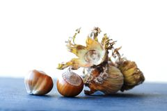 Healthy still life autumn harvest ripe hazelnut Corylus Maxima. Organic filbert cobnuts with dried leaves on stony. Background. Macro view, selective focus stock photography