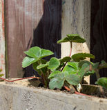 Healthy Strawberry Plants Royalty Free Stock Photo