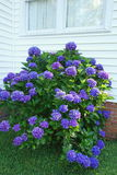Healthy tall purple hydrangea bush below window an Stock Photography