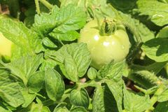 A healthy tomato plant with unripened green fruit Stock Image
