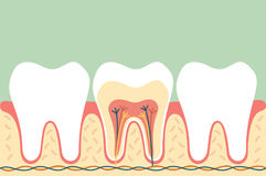 Healthy tooth anatomy Royalty Free Stock Photography