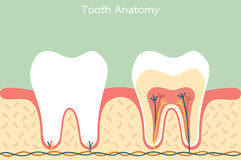 Healthy tooth anatomy Stock Images