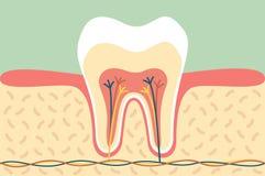 Healthy tooth anatomy Stock Photo