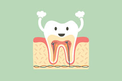 Healthy tooth anatomy is fun Royalty Free Stock Photography