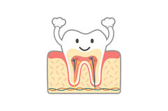Healthy tooth anatomy is fun isolated on white Stock Photography