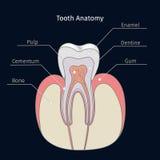 Healthy tooth anatomy Royalty Free Stock Photos