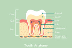 Healthy tooth anatomy with word Stock Photos