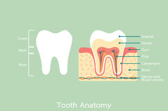Healthy tooth anatomy with word Stock Image