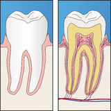 Healthy tooth and section of healthy tooth Royalty Free Stock Photo
