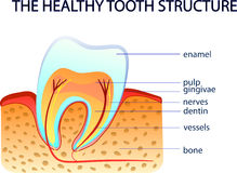THE HEALTHY TOOTH STRUCTURE Stock Image