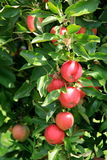 Healthy tree laden with seasonal crop of apples Royalty Free Stock Photo