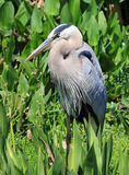 Healthy tricolored heron Royalty Free Stock Photography