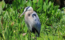 Healthy tricolored heron Royalty Free Stock Image
