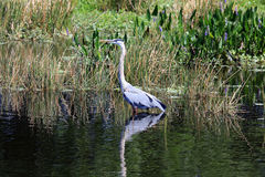 Healthy tricolored heron Stock Images