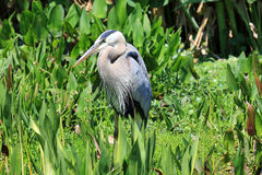 Healthy tricolored heron Stock Photos