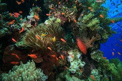 Healthy Tropical Coral Reef Royalty Free Stock Photo