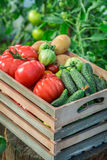 Healthy vegetables in greenhouse Stock Images