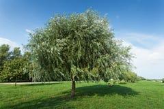 Healthy vigorous tree in the park Royalty Free Stock Photo