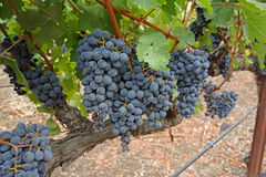 Healthy Vineyard Stock Photo