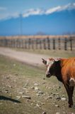 Healthy and well fed cow on pasture in the mountains, with selective focus Stock Photo