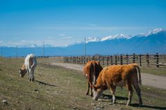 Healthy and well fed cow on pasture in the mountains, with selective focus Royalty Free Stock Photo