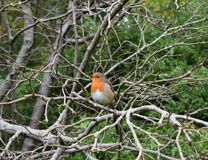 Robin perched on a tree, Singleton Park, Swansea. Healthy, well fed Robin perched on the branch of a tree in Autumn stock photos