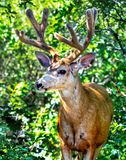 A Mule Buck Deer Shows off an impressive and growing Rack! Royalty Free Stock Photography