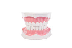 Healthy white human teeth anatomical model. Dentistry. Stock Image