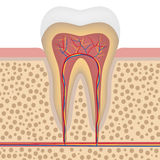 Healthy white tooth, detailed anatomy Stock Images